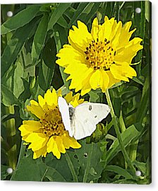 Yellow Cow Pen Daisies Acrylic Print