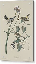 Yellow-crown Warbler Acrylic Print by Dreyer Wildlife Print Collections
