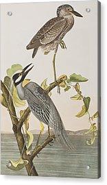 Yellow Crowned Heron Acrylic Print by John James Audubon
