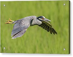 Yellow-crowned Night-heron In Flight Acrylic Print