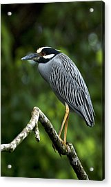 Yellow-crowned Night Heron Acrylic Print by JP Lawrence