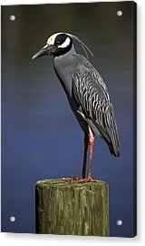 Acrylic Print featuring the photograph Yellow-crowned Night Heron by Sally Weigand