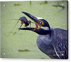 Acrylic Print featuring the photograph Yellow Crowned Night Heron  by Savannah Gibbs