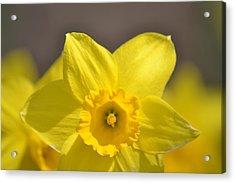 Yellow Daffodil Flower Acrylic Print