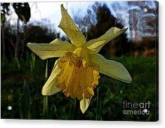Yellow Daffodils 5 Acrylic Print by Jean Bernard Roussilhe