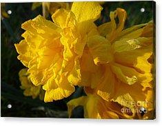 Yellow Daffodils Acrylic Print by Jean Bernard Roussilhe