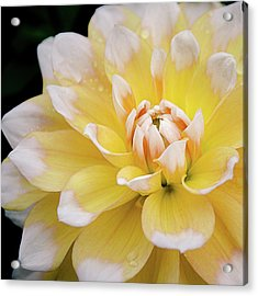 Acrylic Print featuring the photograph Yellow Dahlia White Tipped by Julie Palencia