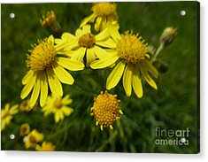 Yellow Daisies 2 Acrylic Print