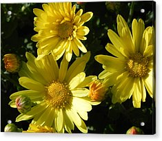Yellow Daisies Acrylic Print by John Parry