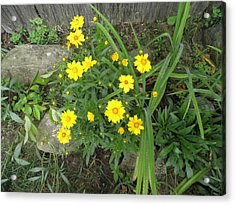 Yellow Daisies Acrylic Print by Kate Gallagher