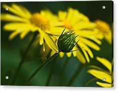 Yellow Daisy Bud Acrylic Print