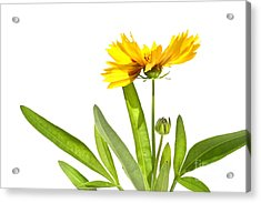 Yellow Daisy Isolated Against White Acrylic Print