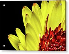 Yellow Daisy Peeking Acrylic Print