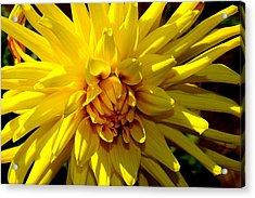Yellow Daliha Acrylic Print by Patrick  Short