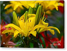 Yellow Day Lily 20120614_55a Acrylic Print