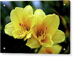 Yellow Daylilly 0204 H_2 Acrylic Print