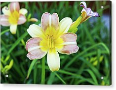 Acrylic Print featuring the photograph Yellow Daylily by D K Wall