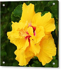 Yellow Double Hibiscus Acrylic Print