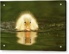 Yellow Ducking -narcissus II Acrylic Print by Roeselien Raimond