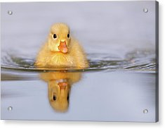 Yellow Duckling In Blue Water Acrylic Print