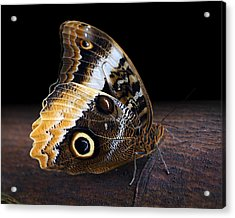 Yellow-edged Giant Owl Butterfly Acrylic Print