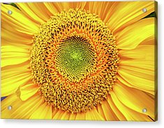Yellow Eye Acrylic Print