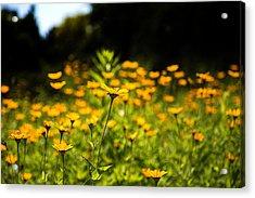 Yellow Field Acrylic Print