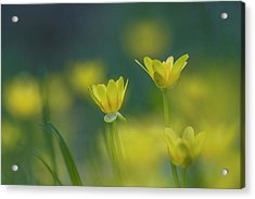 Yellow Fig Buttercups Against The Blue Sky Acrylic Print by Susan Schmidt