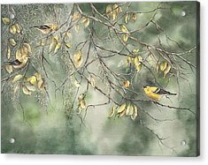 Yellow Finch Acrylic Print by Mary McCullah