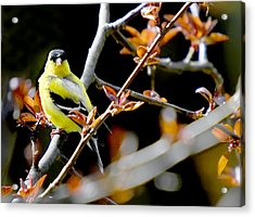 Yellow Finch Acrylic Print by Pat Carosone