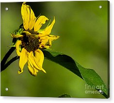 Yellow Flower 1 Acrylic Print