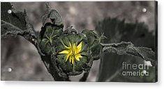 Yellow Flower 3 Acrylic Print
