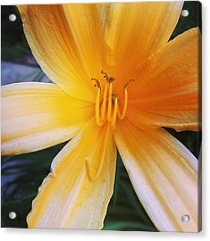 Yellow Flower, Acrylic Print by Carl Griffasi