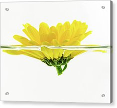 Yellow Flower Floating In Water Acrylic Print