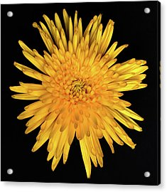 Yellow Flower Macro Acrylic Print