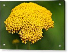 Yellow Flower Acrylic Print by Robert Joseph
