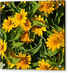 Yellow Flowers Acrylic Print by Dennis Stein