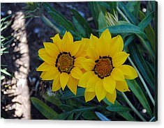 Gazania Rigens - Treasure Flower Acrylic Print