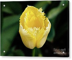 Yellow Fringe Tulip Acrylic Print