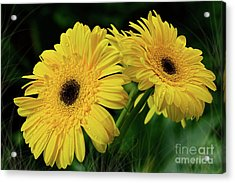 Acrylic Print featuring the photograph Yellow Gerbera Daisies By Kaye Menner by Kaye Menner
