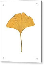 Yellow Ginkgo Leaf Acrylic Print by Renee Trenholm