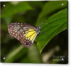 Yellow Glassy Tiger Butterfly Acrylic Print by Louise Heusinkveld