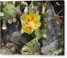 Yellow Cactus Flower Blossom Acrylic Print