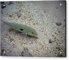 Yellow Goatfish Acrylic Print by Michael Peychich