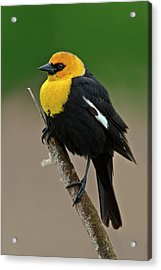 Yellow Headed Blackbird Acrylic Print