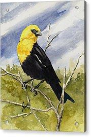 Yellow-headed Blackbird Acrylic Print by Sam Sidders