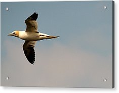 Yellow Headed Gull In Flight Acrylic Print
