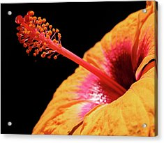 Acrylic Print featuring the photograph Yellow Hibiscus by Marie Hicks