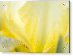 Yellow Iris 3 Acrylic Print