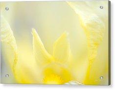 Yellow Iris 4 Acrylic Print
